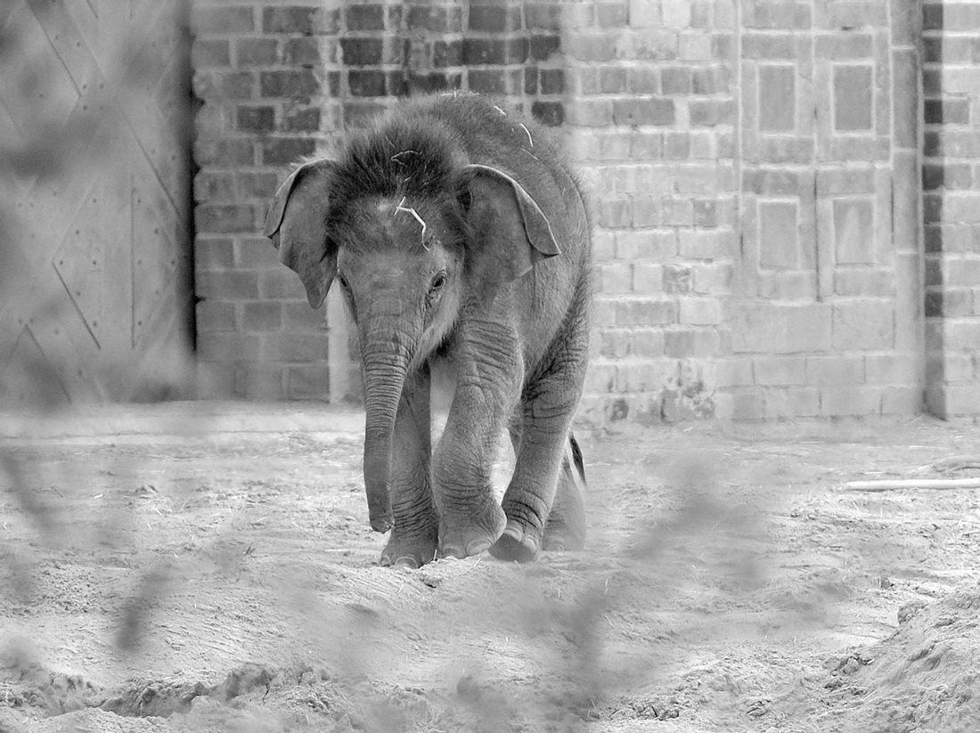 Der kleine Elefant Bên Lòng aus dem Leipziger Zoo musste eingeschläfert werden.