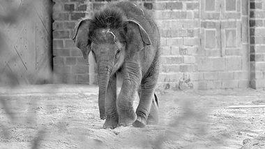 Der kleine Elefant Bên Lòng aus dem Leipziger Zoo musste eingeschläfert werden. - Foto: imago
