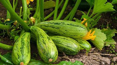 Zucchini selbst anbauen. - Foto: Leptospira / iStock
