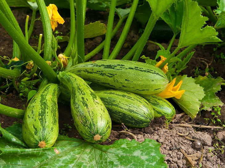 Zucchini selbst anbauen.