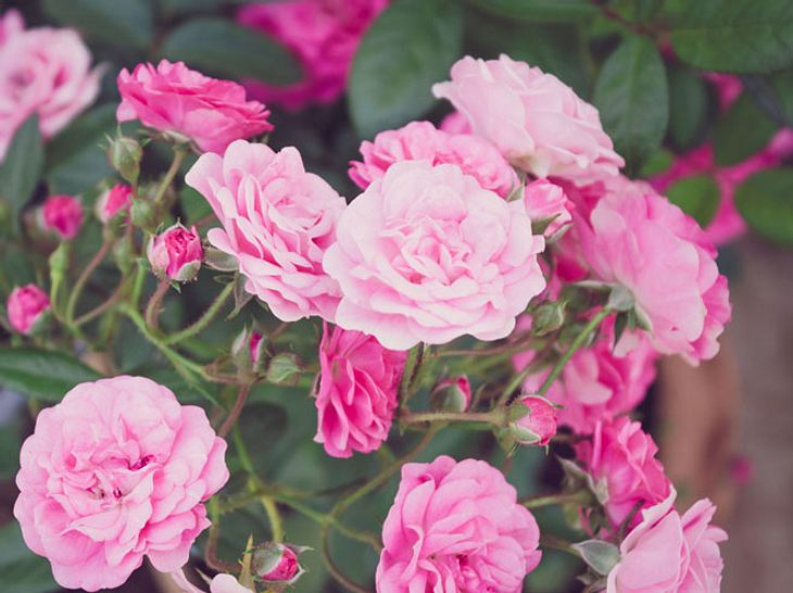 Bodendeckerrosen haben besonders schöne Blüten.