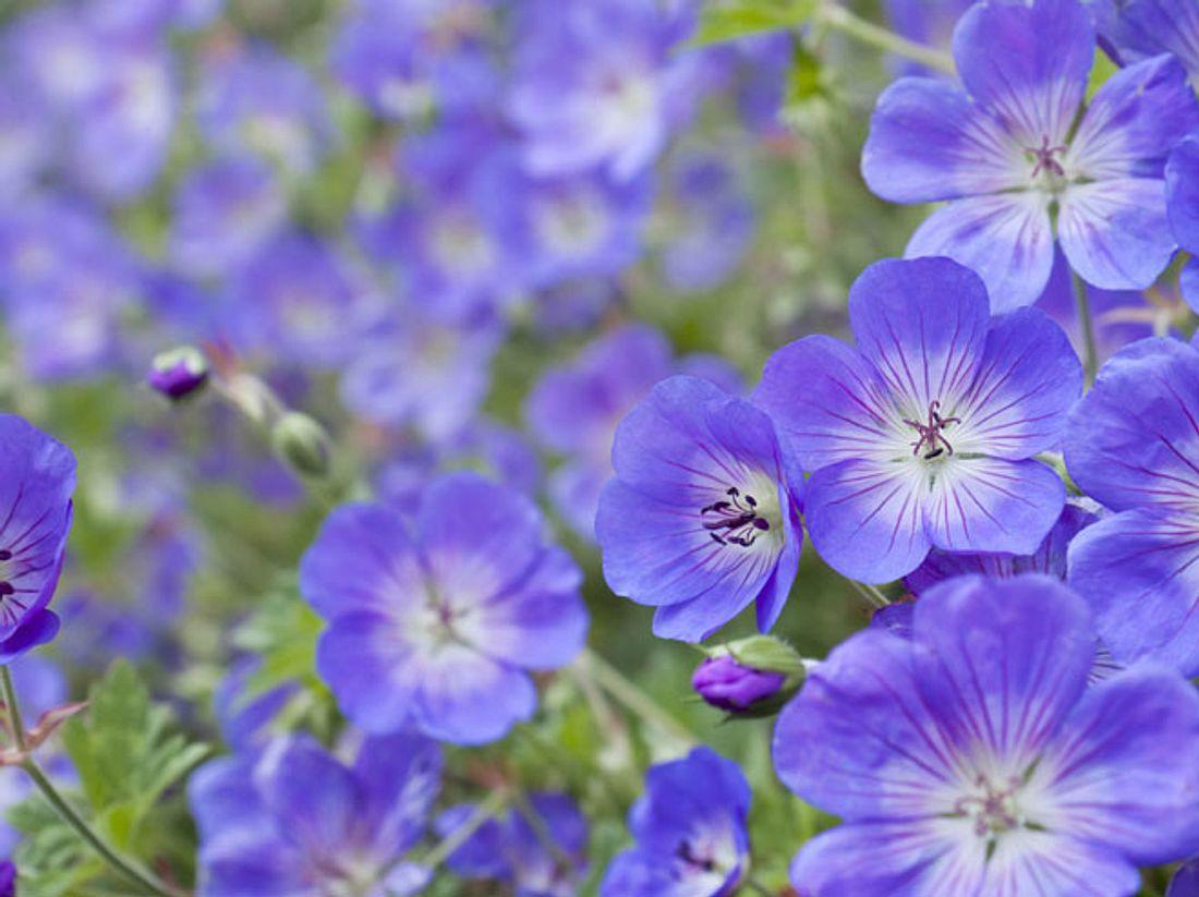 Viele Pflanzensorten eignen sich als Bodendecker - unter anderem einige Storchschnabel-Arten, die wunderschön blühen.