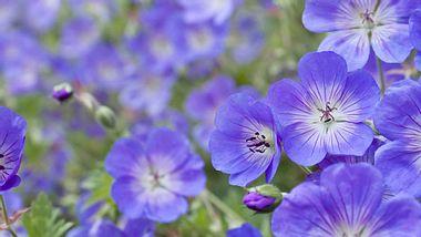Viele Pflanzensorten eignen sich als Bodendecker - unter anderem einige Storchschnabel-Arten, die wunderschön blühen. - Foto: LordRunar / iStock