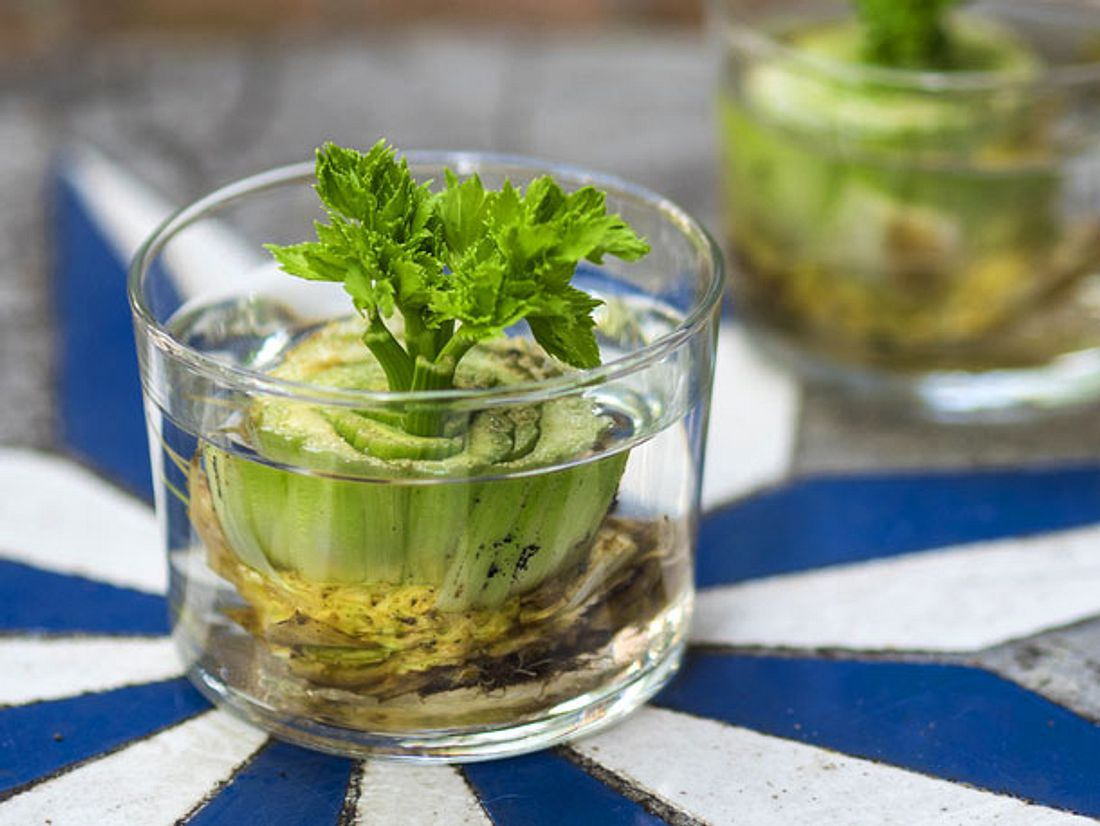 Reste von Frühlingszwiebeln oder Sellerie können Sie ganz leicht nachwachsen lassen - und so immer weiter Gemüse züchten.