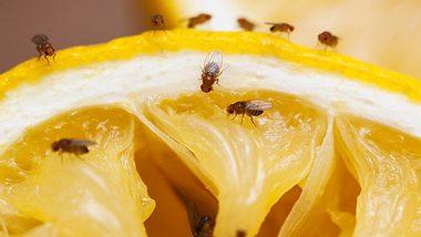 Schädlinge wie Fruchtfliegen lassen sich mit Hausmitteln verjagen. - Foto: Drbouz / iStock