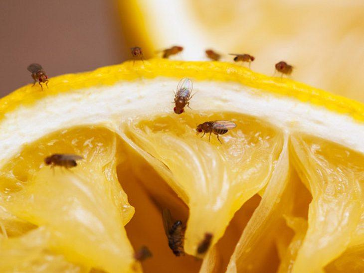 Schädlinge wie Fruchtfliegen lassen sich mit Hausmitteln verjagen.