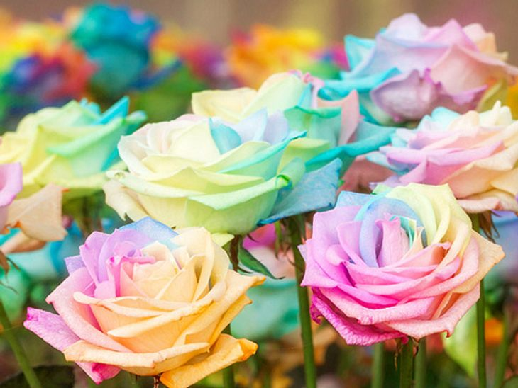 Regenbogen Rosen können Sie Zuhause mit wenigen Mitteln selbst machen.